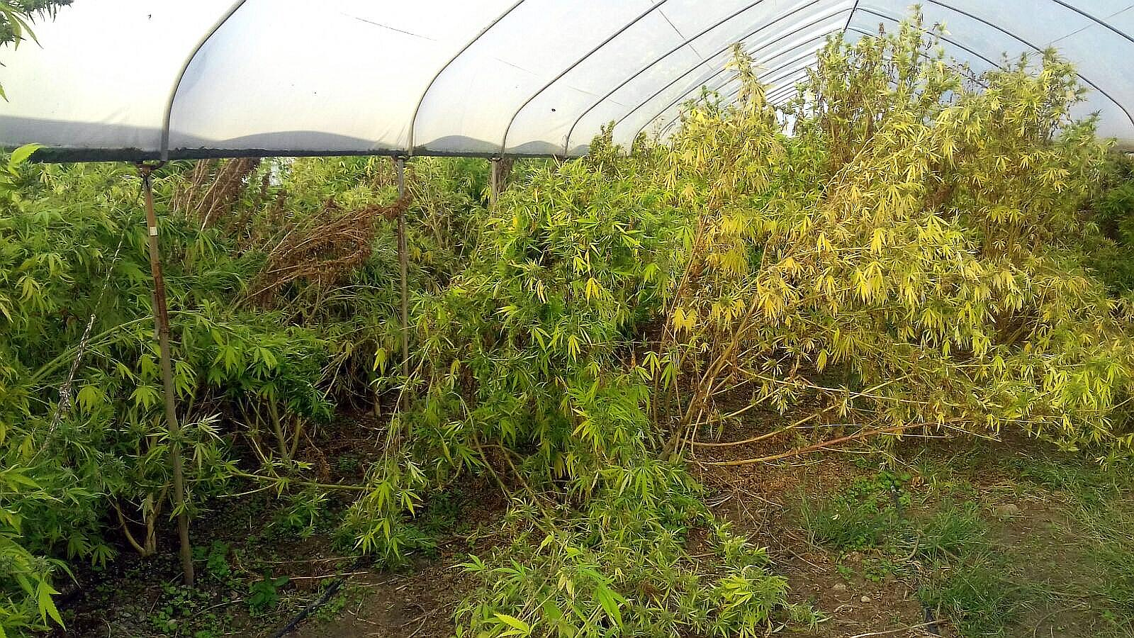 marijuana, Serre per marijuana nel Casertano: sequestrati 50 chili e un arresto