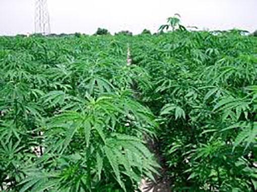 piantagione cannabis marano