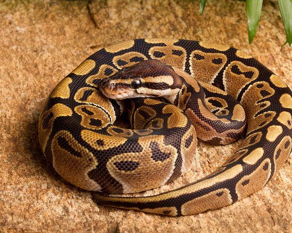 ball python python regius coiled on rock david kenny