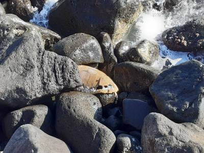 torre del greco carcassa di una tartaruga