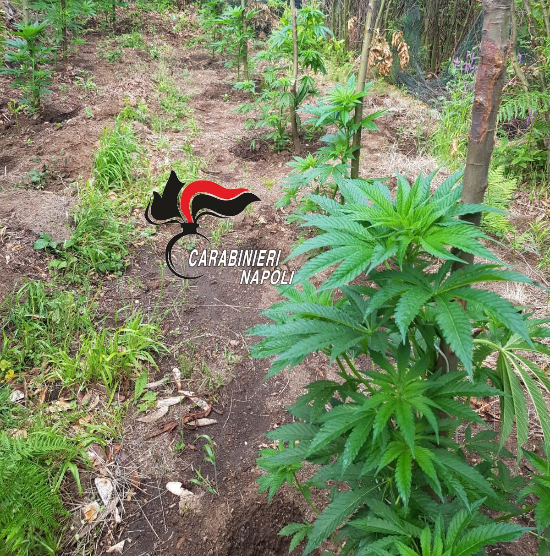 monti lattari cannabis