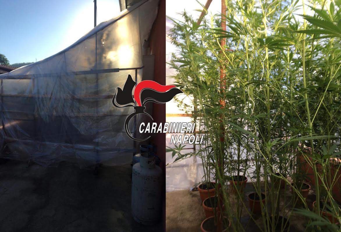 pozzuoli serra cannabis in giardino