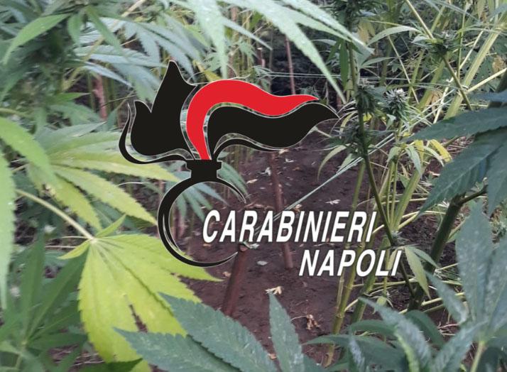 cannabis gragnano