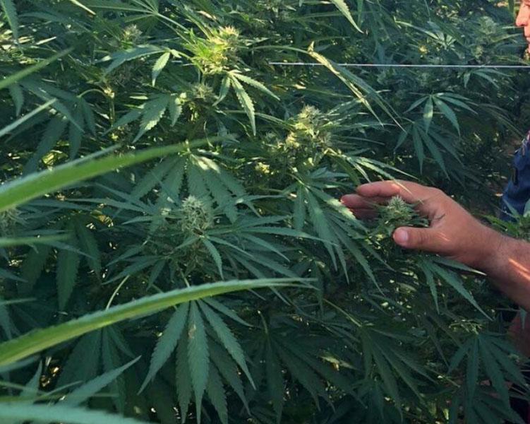 Coltivava marijuana nel vigneto