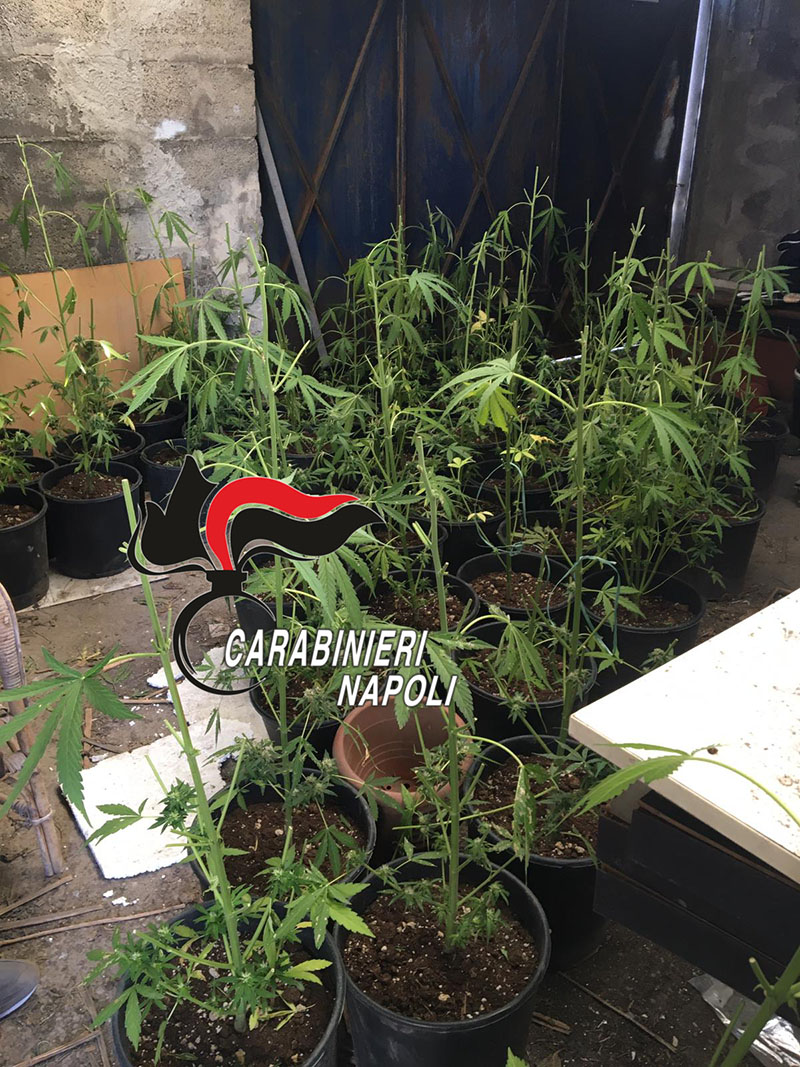 torre del greco serra marijuana