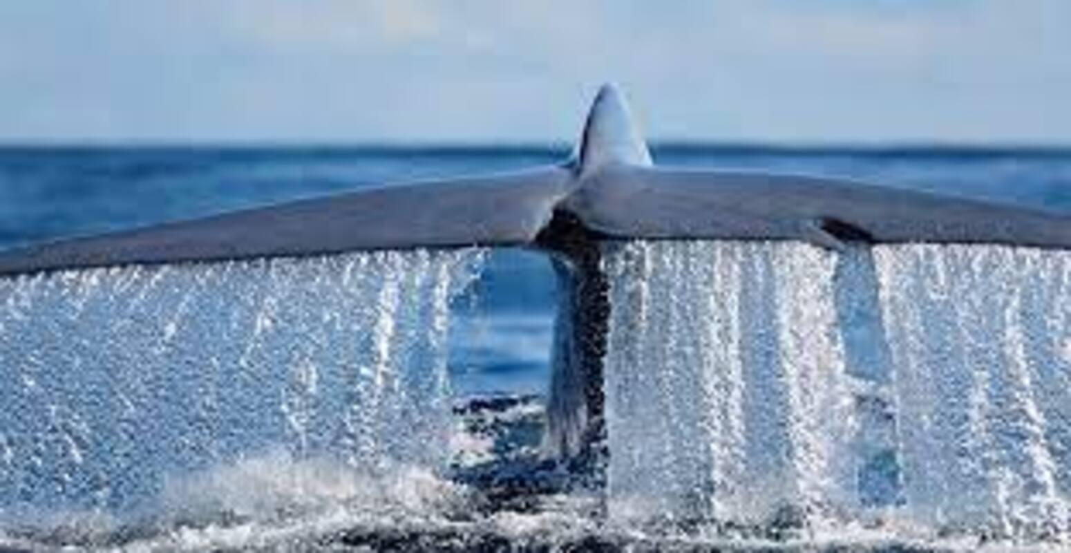 la balena azzurra